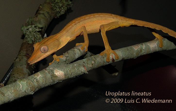 Male Uroplatus lineatus