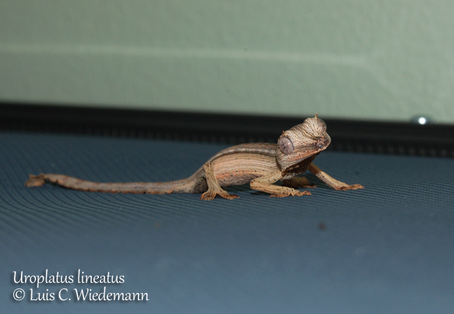 This two day old hatchling was found sleeping under the UVB lights on top on one of our chameleons cages.